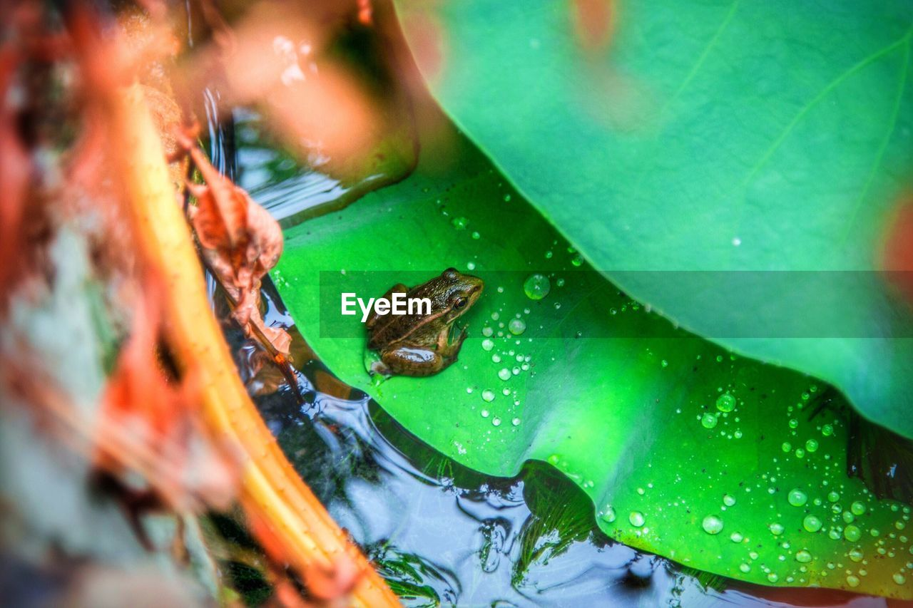 Close-up of frog on leaf floating on water