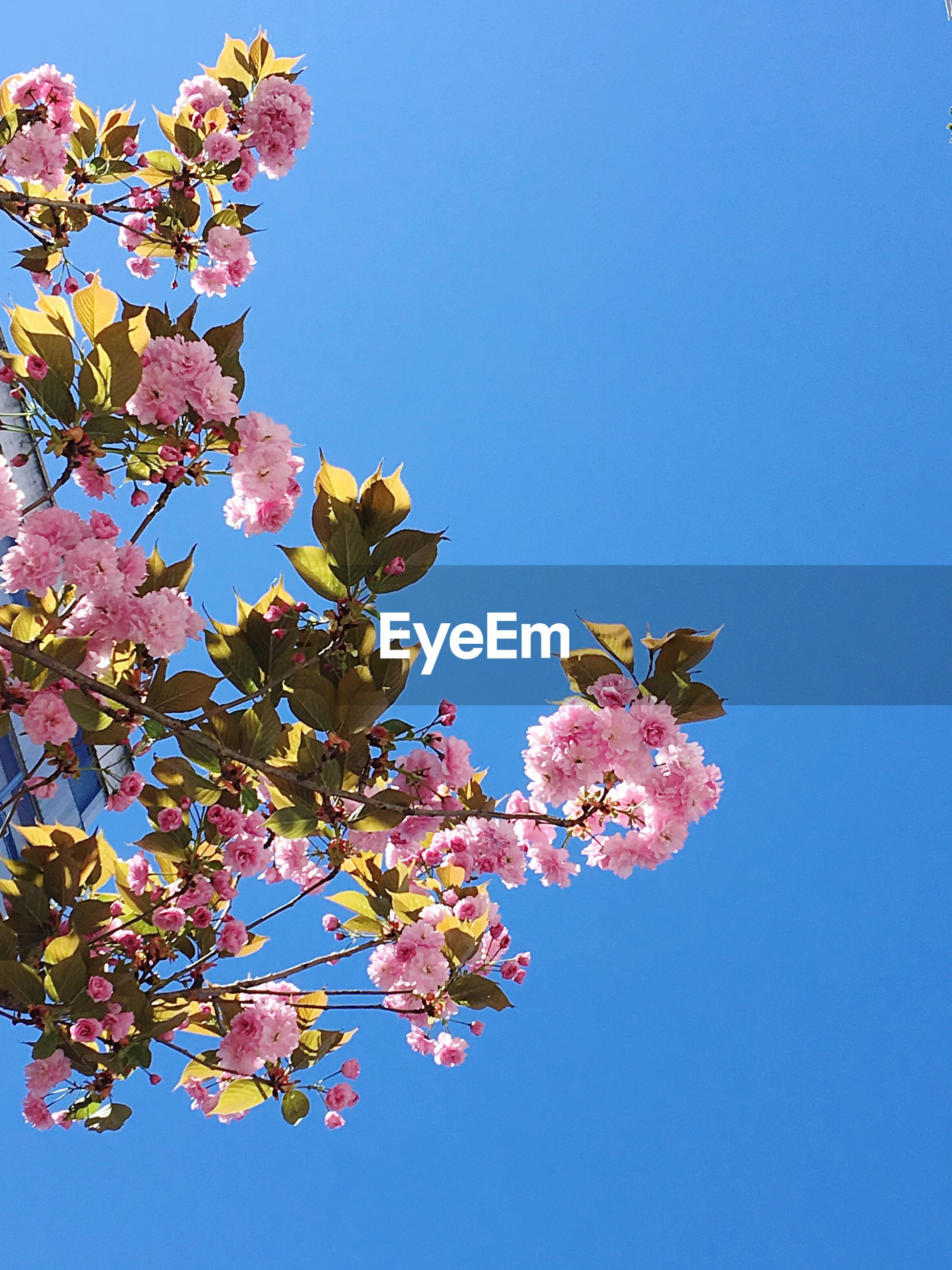 CLOSE-UP OF PINK FLOWERS AGAINST BLUE SKY