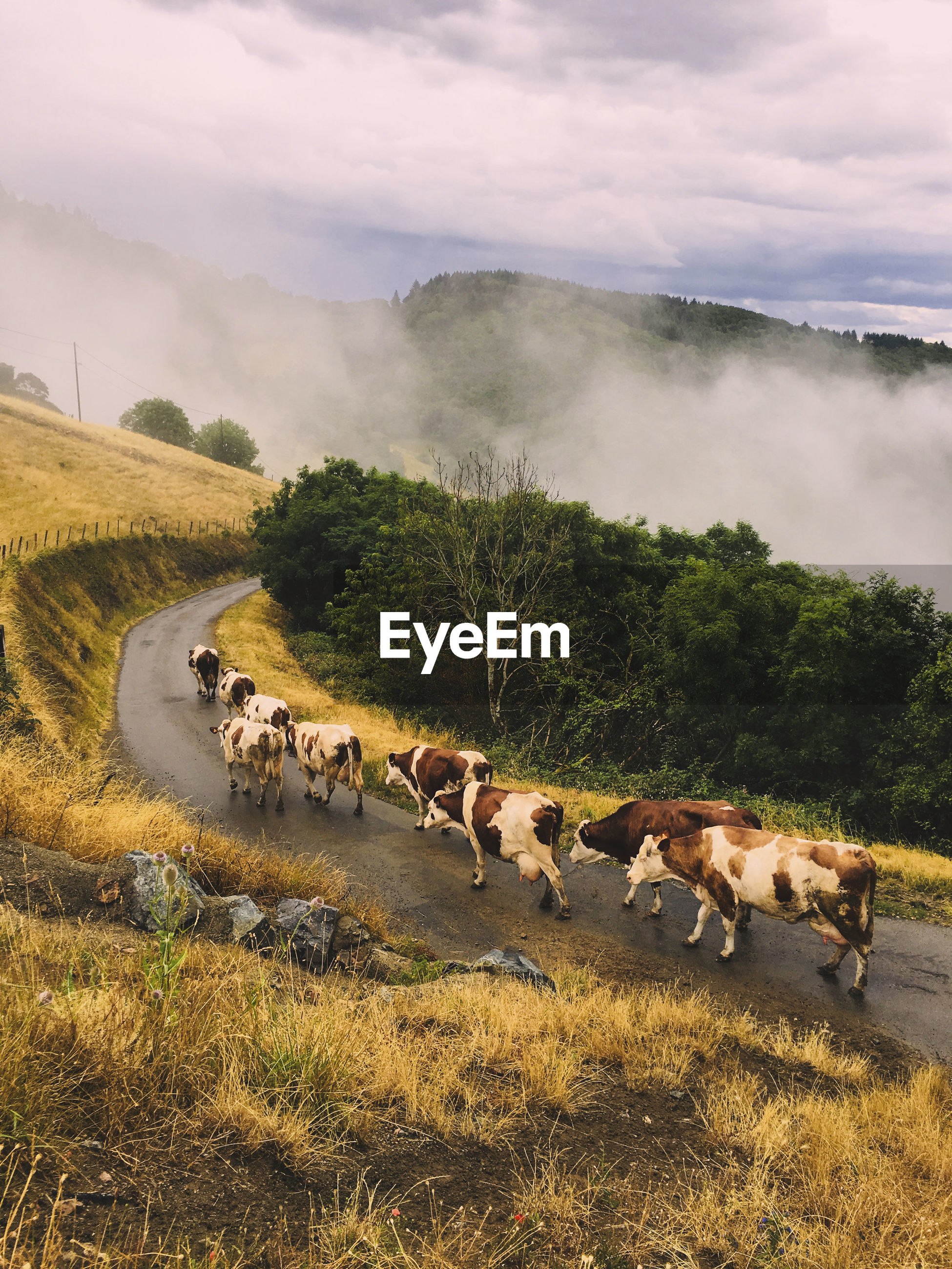 High angle view of cows walking on road amidst field against cloudy sky