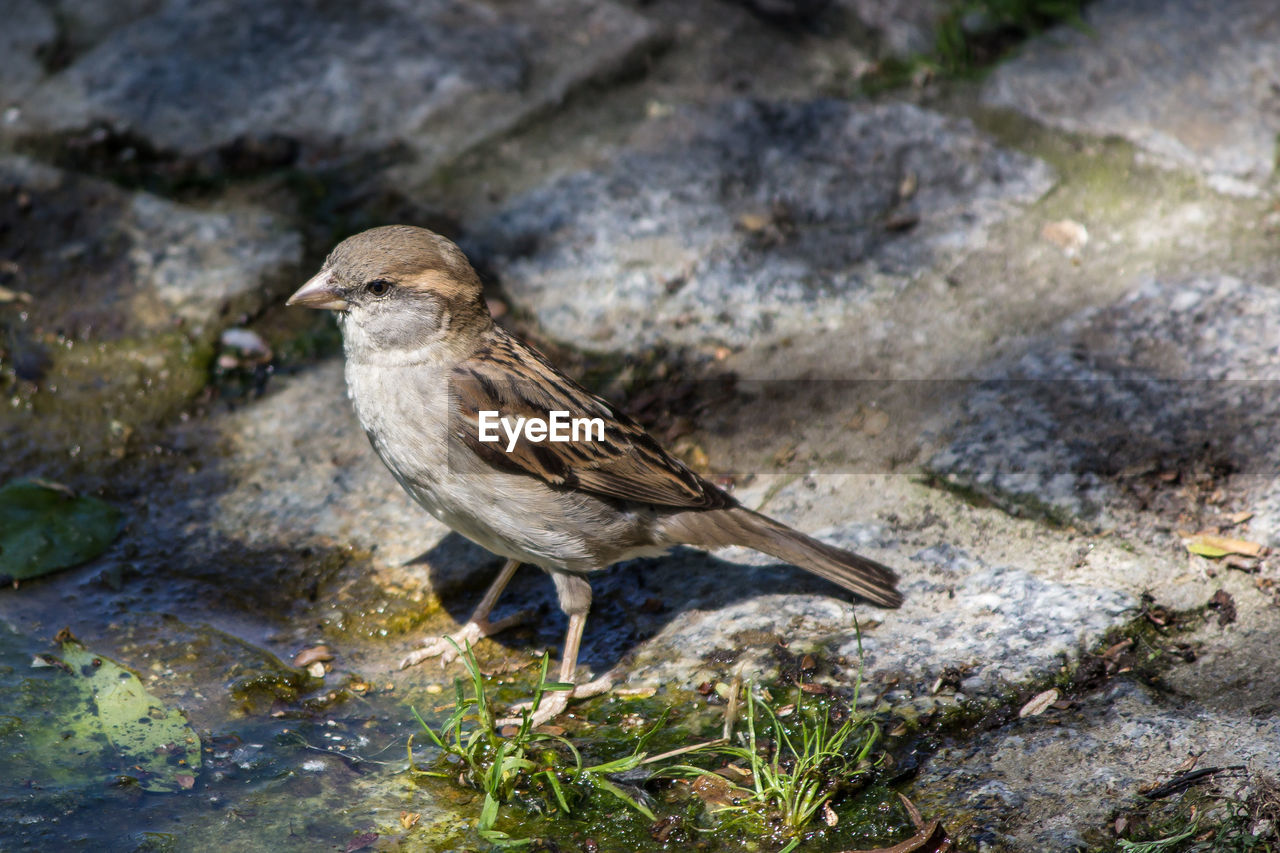 animal themes, animal, animal wildlife, animals in the wild, one animal, vertebrate, bird, sparrow, perching, day, solid, focus on foreground, rock, rock - object, nature, side view, no people, full length, close-up, outdoors