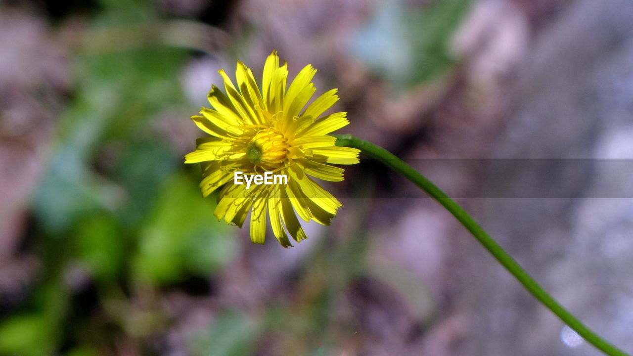 flower, fragility, yellow, petal, nature, beauty in nature, freshness, flower head, growth, plant, close-up, blooming, day, no people, outdoors, springtime