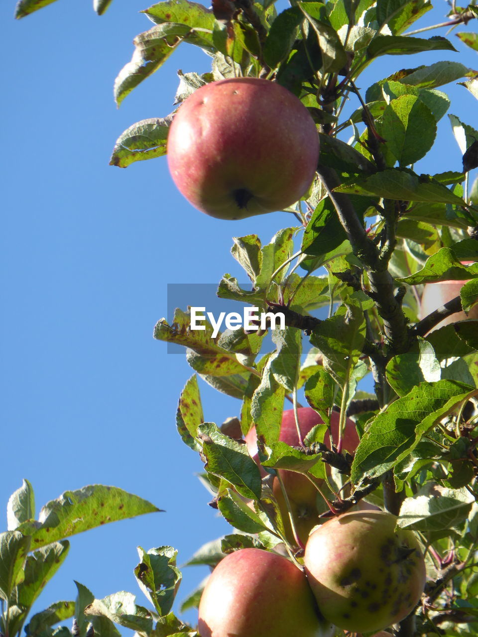 fruit, apple - fruit, food and drink, healthy eating, food, growth, tree, freshness, low angle view, day, apple, leaf, outdoors, ripe, green color, sunlight, nature, pomegranate, red, granny smith apple, peach, no people, clear sky, close-up, eaten