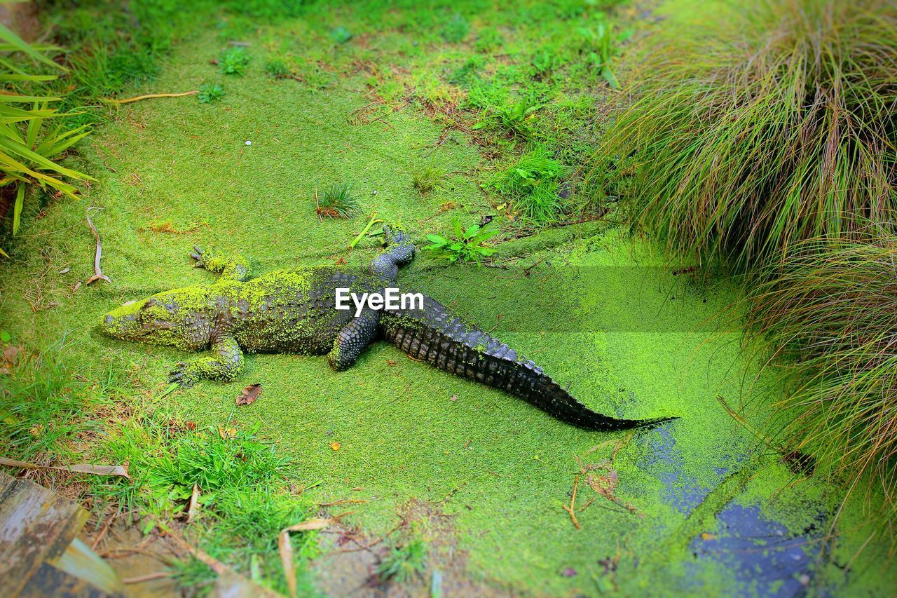 High angle view of alligator in pond
