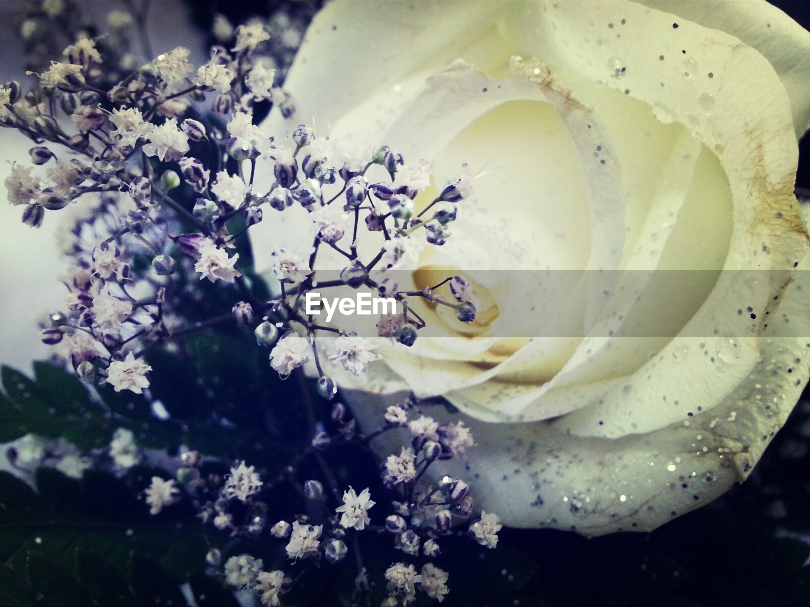 flower, freshness, petal, fragility, flower head, close-up, beauty in nature, white color, growth, rose - flower, nature, high angle view, blooming, focus on foreground, day, no people, in bloom, blossom, outdoors, single flower