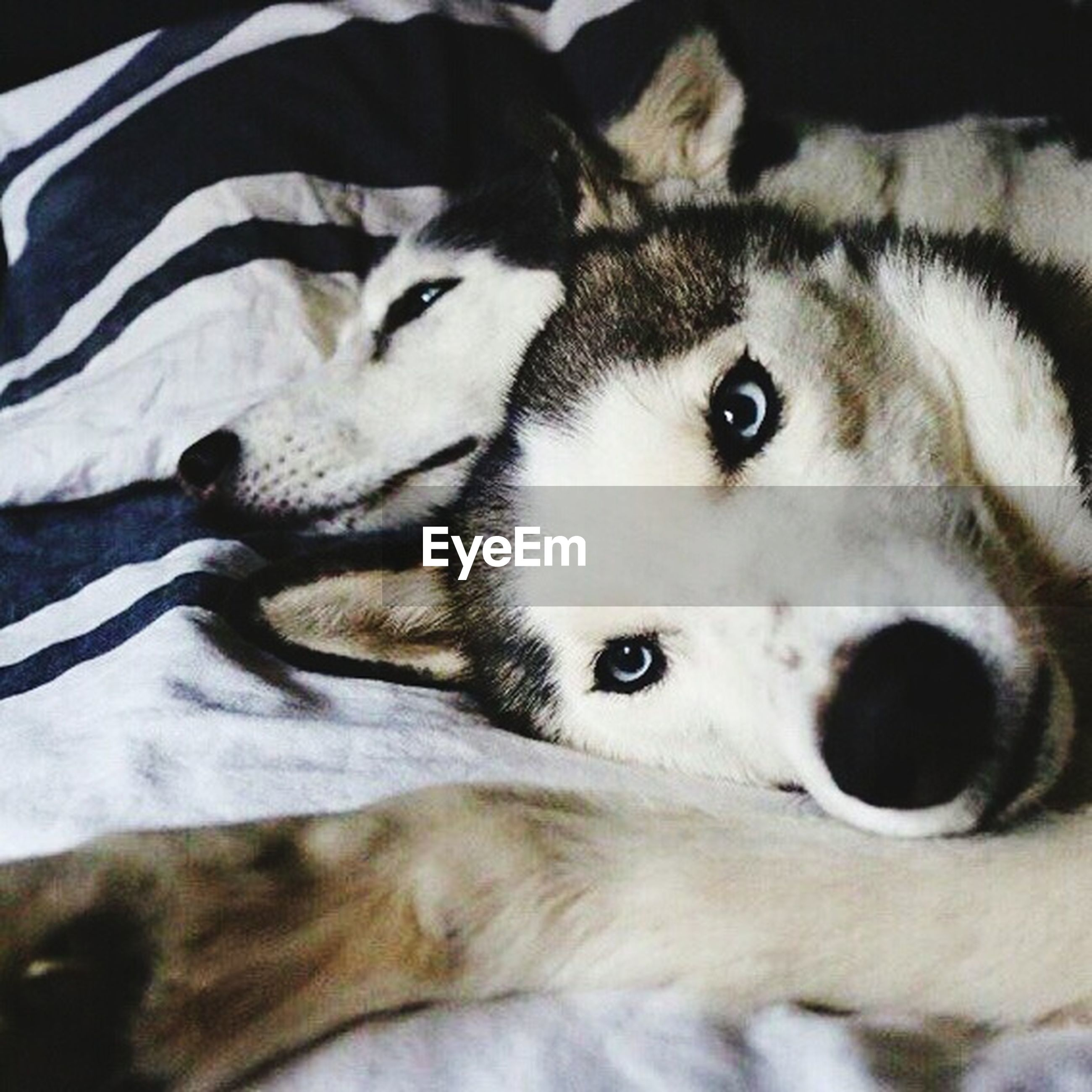 animal themes, domestic animals, pets, mammal, one animal, siberian husky, dog, no people, indoors, close-up, looking at camera, lying down, portrait, day