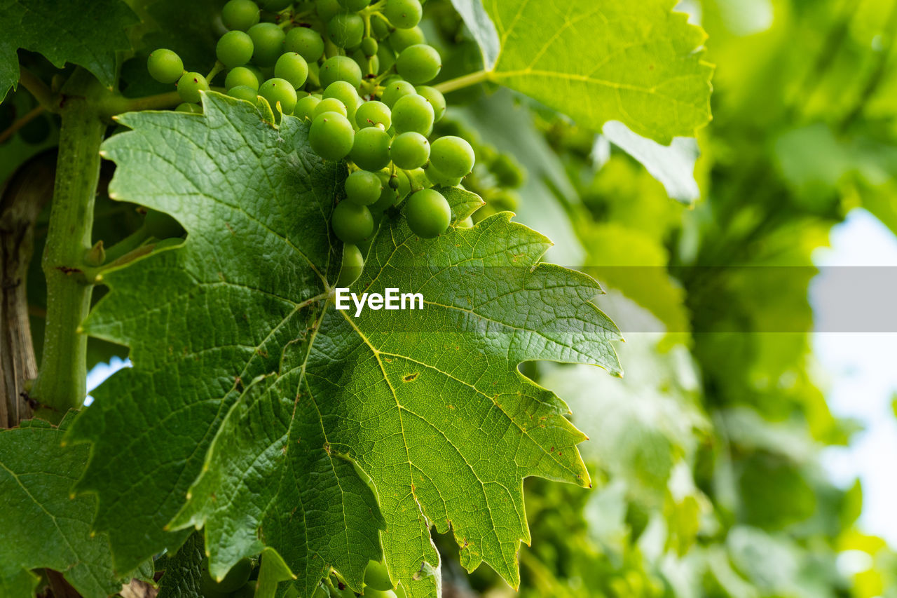 leaf, plant part, green color, growth, plant, close-up, nature, day, beauty in nature, tree, no people, leaf vein, freshness, food, food and drink, fruit, outdoors, focus on foreground, selective focus, healthy eating, leaves