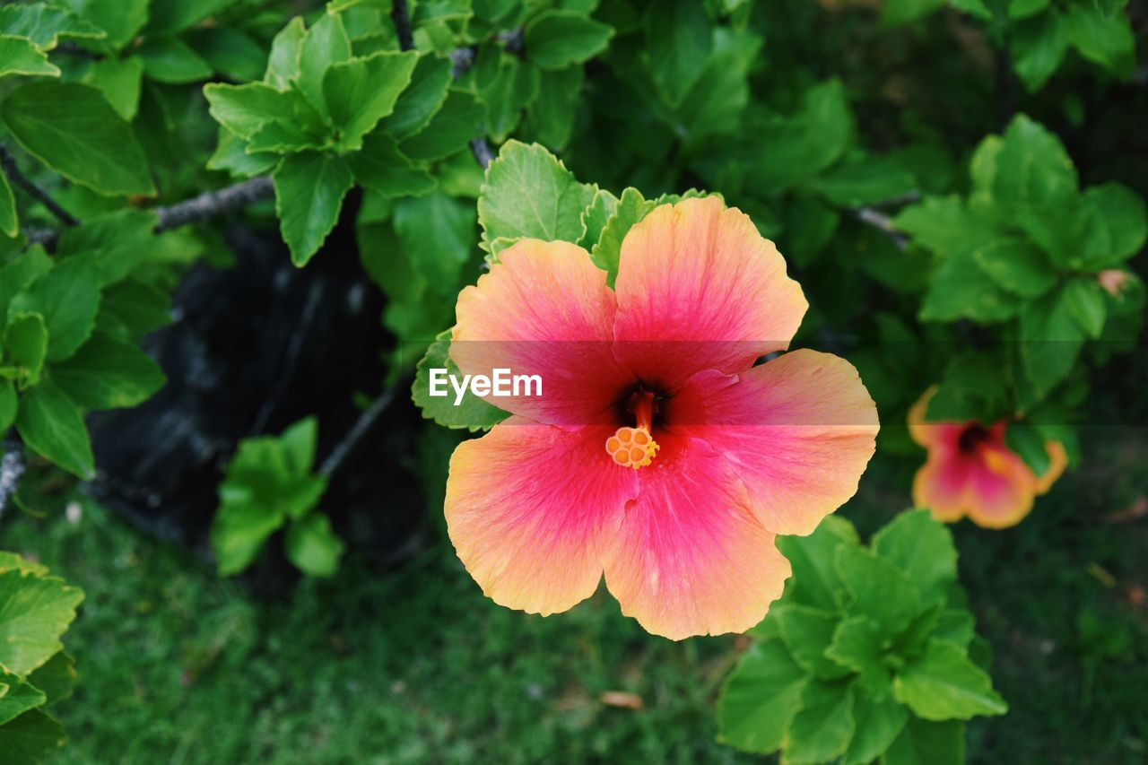 plant, flowering plant, vulnerability, fragility, flower, petal, freshness, beauty in nature, inflorescence, flower head, growth, close-up, plant part, green color, leaf, nature, day, no people, focus on foreground, hibiscus, outdoors, pollen