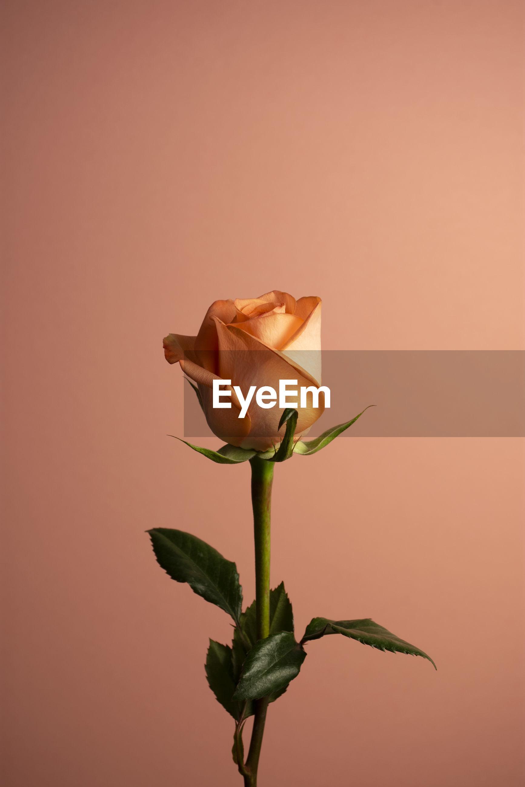 Close-up of rose against orange background