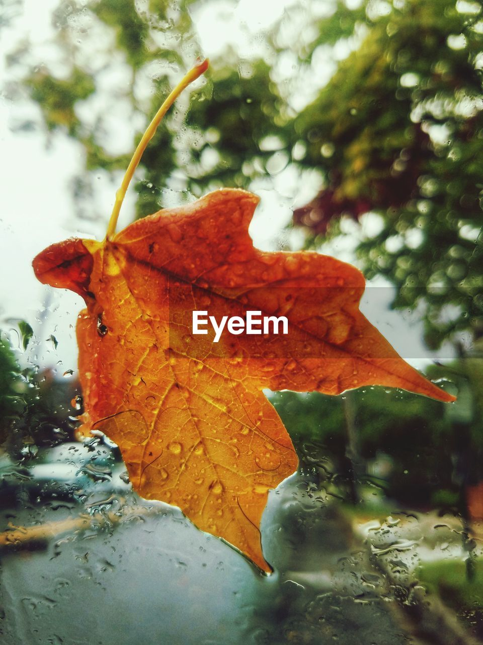 leaf, autumn, change, nature, beauty in nature, maple, day, maple leaf, outdoors, drop, close-up, water, wet, focus on foreground, no people, tree, branch