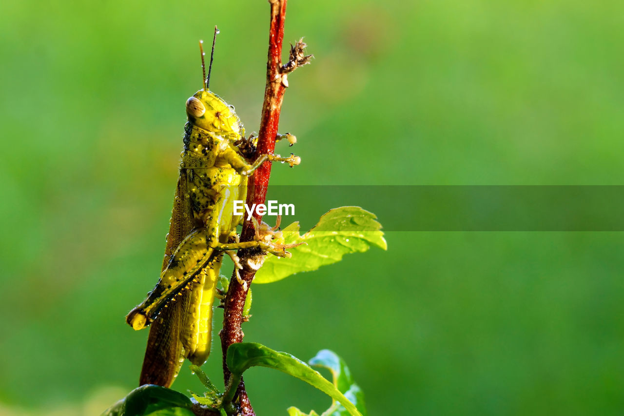 animals in the wild, insect, invertebrate, animal wildlife, animal, animal themes, close-up, one animal, plant, day, focus on foreground, green color, nature, no people, outdoors, leaf, plant part, beauty in nature, growth