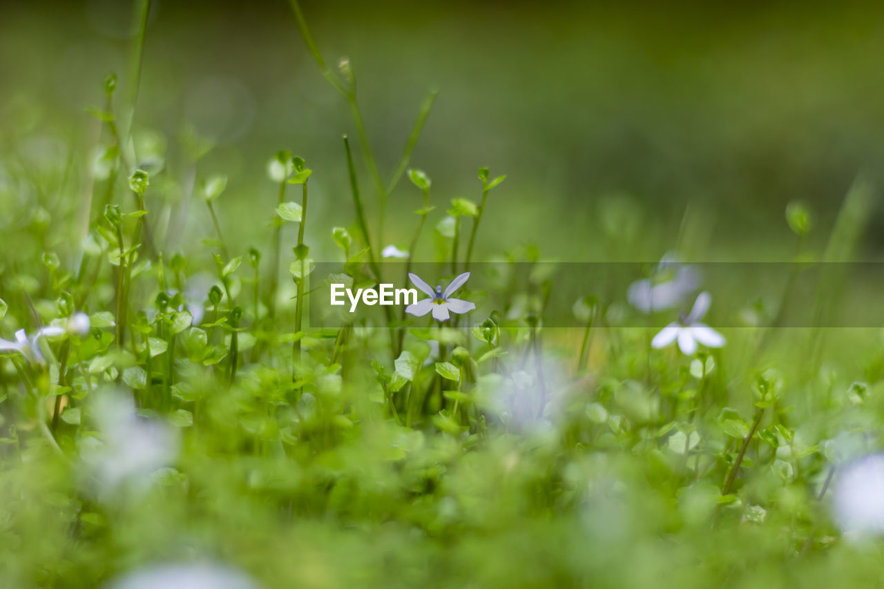 plant, selective focus, green color, flower, flowering plant, beauty in nature, growth, freshness, fragility, field, vulnerability, nature, grass, land, close-up, no people, day, outdoors, petal, botany, clover, small, blade of grass, dew