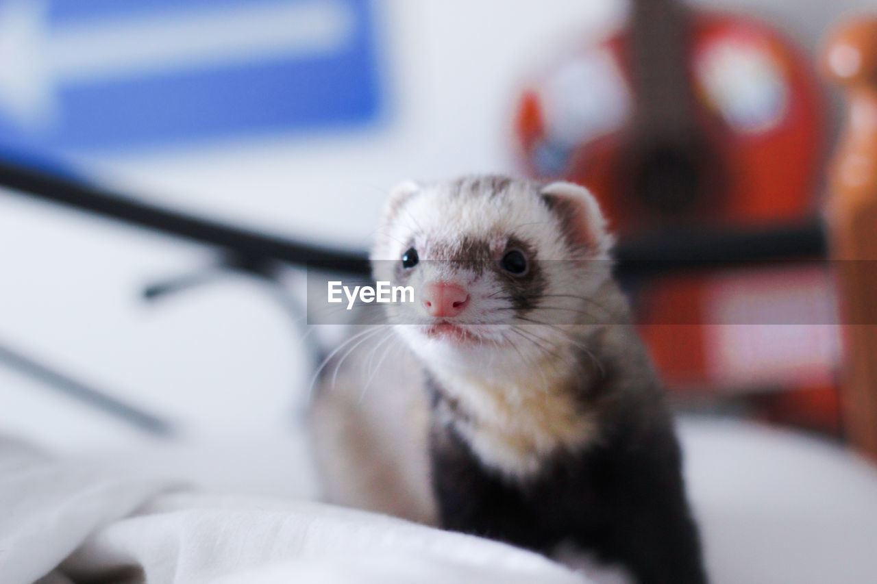 Close-up ferret relaxing on bed