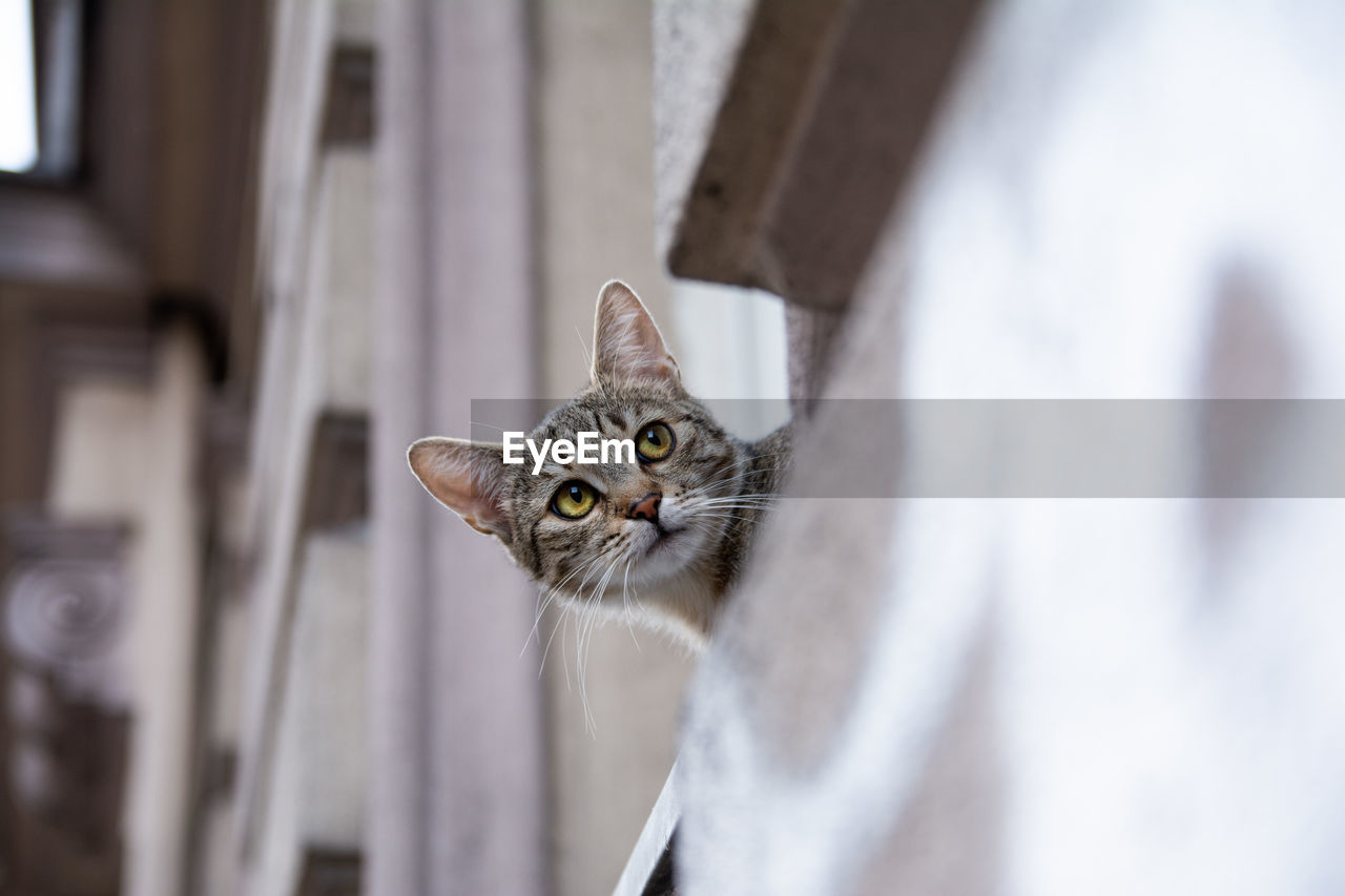 pets, one animal, domestic cat, domestic, cat, animal themes, domestic animals, feline, animal, mammal, vertebrate, no people, portrait, whisker, looking at camera, looking, selective focus, close-up, animal body part, animal head, animal eye, tabby