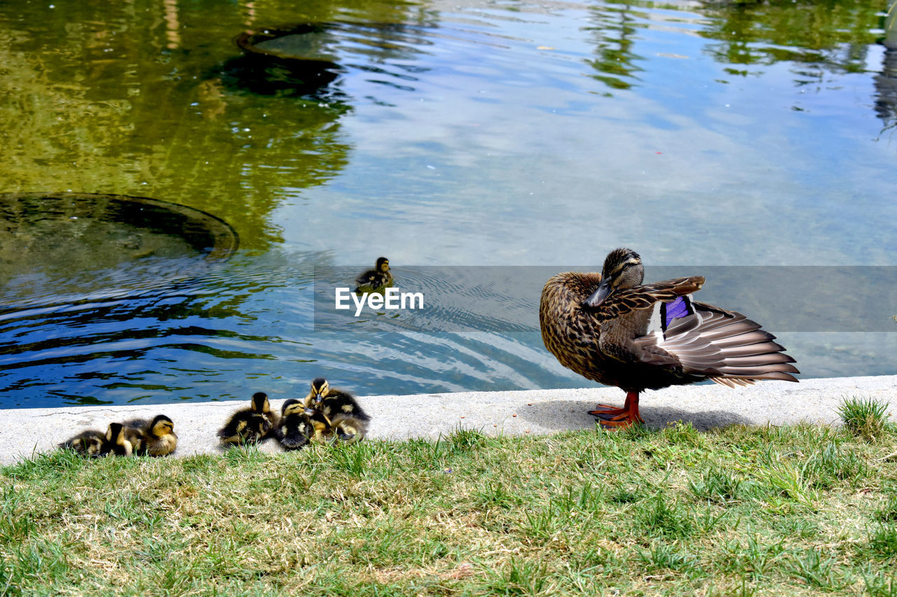 animal themes, animal, bird, vertebrate, lake, water, animals in the wild, animal wildlife, group of animals, duck, poultry, nature, no people, swimming, day, young animal, water bird, mallard duck, high angle view, outdoors, animal family