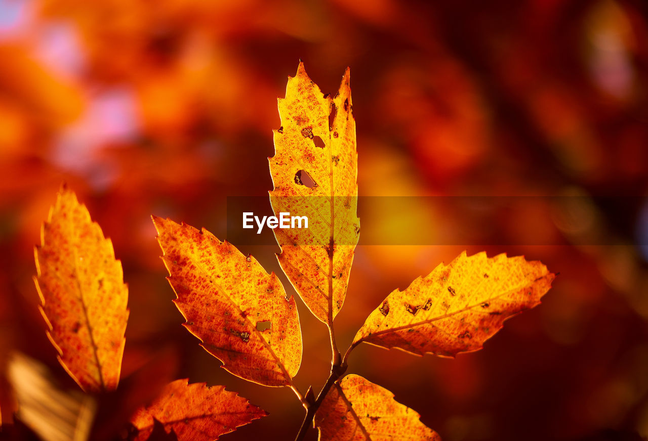leaf, focus on foreground, close-up, outdoors, nature, autumn, no people, beauty in nature, yellow, day, fragility, maple