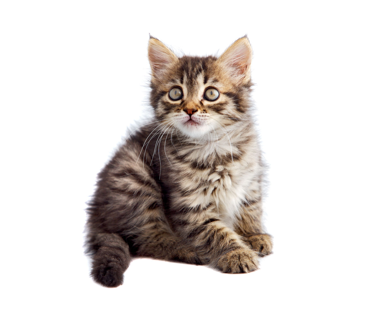 cat, domestic cat, domestic, feline, pets, domestic animals, mammal, studio shot, white background, one animal, indoors, no people, portrait, vertebrate, cut out, looking at camera, kitten, whisker, tabby