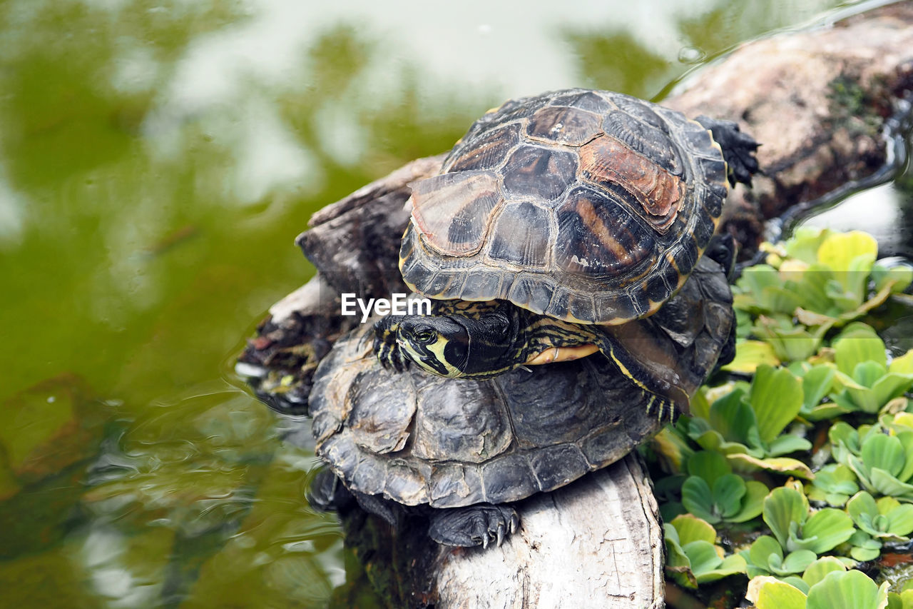 reptile, animal themes, turtle, animal wildlife, animal, animals in the wild, one animal, vertebrate, water, nature, close-up, animal shell, shell, day, no people, tortoise, focus on foreground, lake, tortoise shell, outdoors, animal head, marine