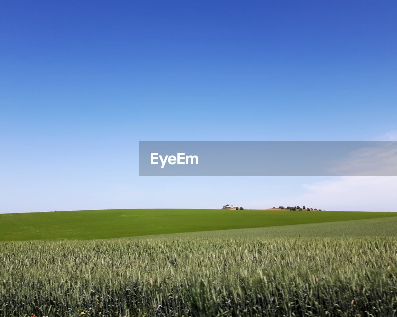 SCENIC VIEW OF WHEAT FIELD AGAINST BLUE SKY