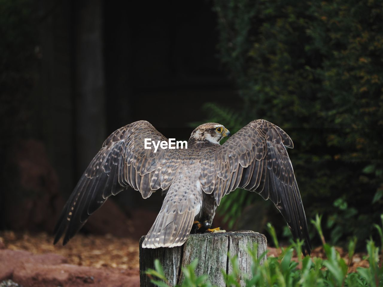 bird, animal themes, animals in the wild, animal, animal wildlife, vertebrate, spread wings, flying, one animal, bird of prey, focus on foreground, day, nature, no people, mid-air, full length, outdoors, animal wing, tree, wooden post