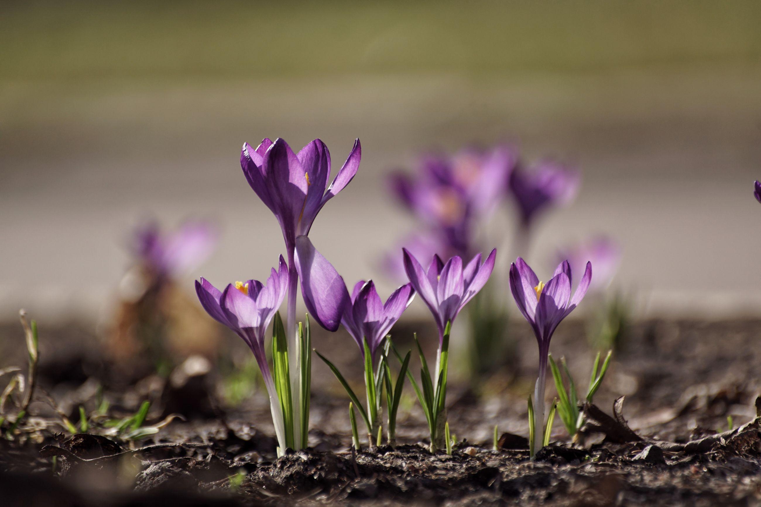 Close-up of purple crocus flowers blooming on field