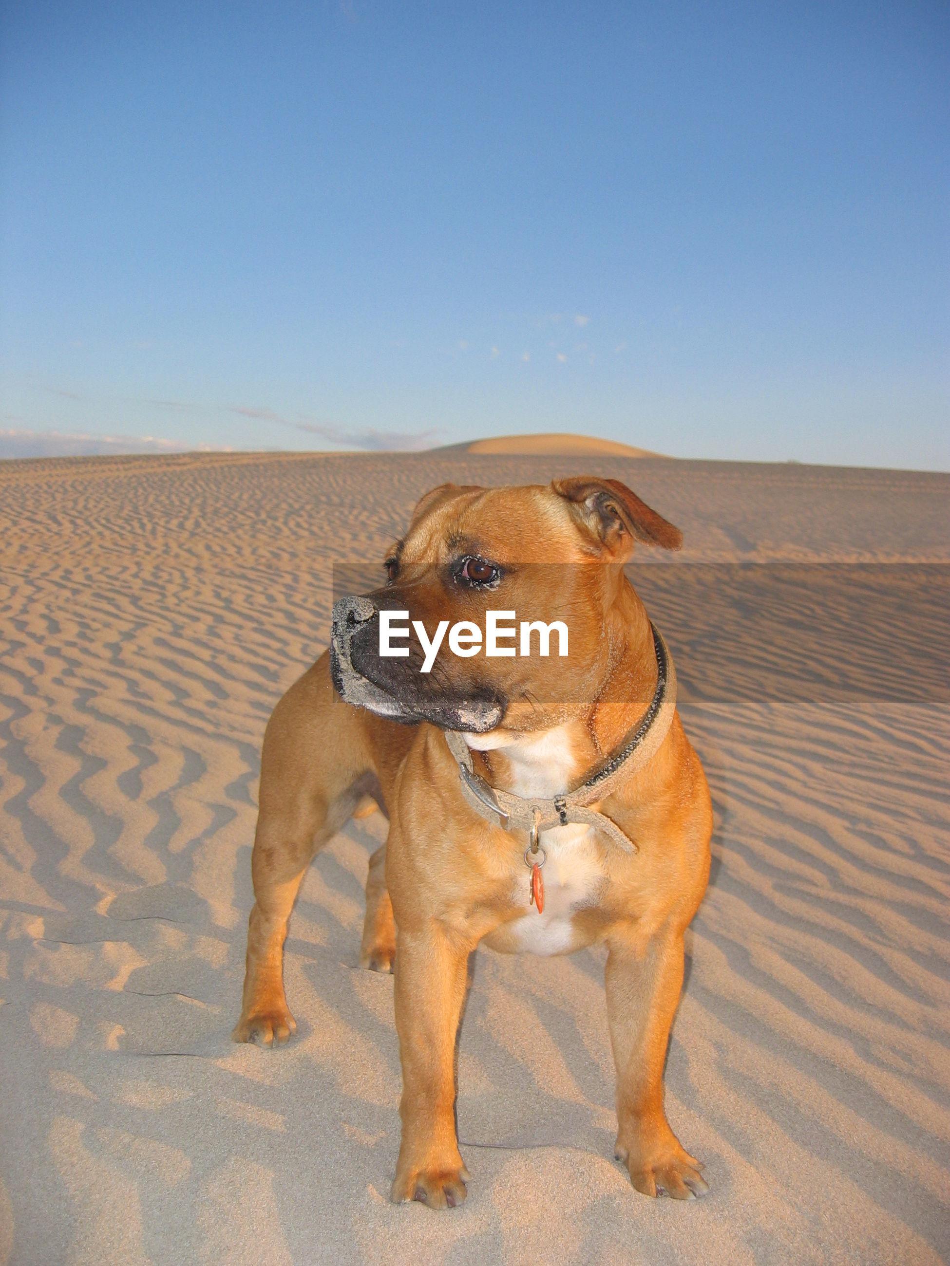 DOG STANDING ON SAND DUNE