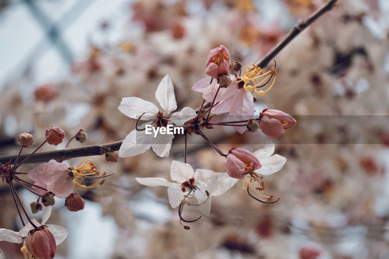 flowering plant, flower, plant, beauty in nature, freshness, fragility, vulnerability, growth, focus on foreground, close-up, blossom, petal, tree, branch, springtime, no people, twig, white color, nature, inflorescence, cherry blossom, flower head, pollen, outdoors, cherry tree, plum blossom