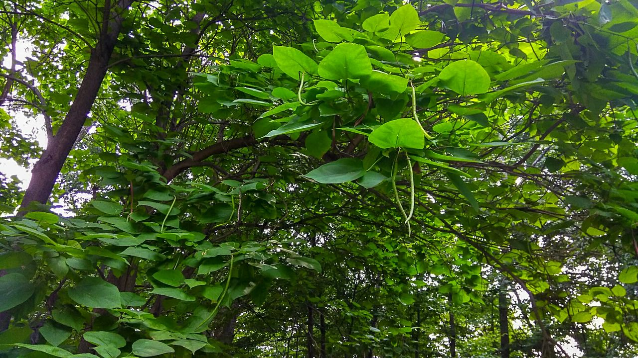 growth, green color, leaf, plant part, tree, plant, beauty in nature, low angle view, day, nature, no people, tranquility, branch, outdoors, freshness, foliage, lush foliage, forest, full frame, green, tree canopy