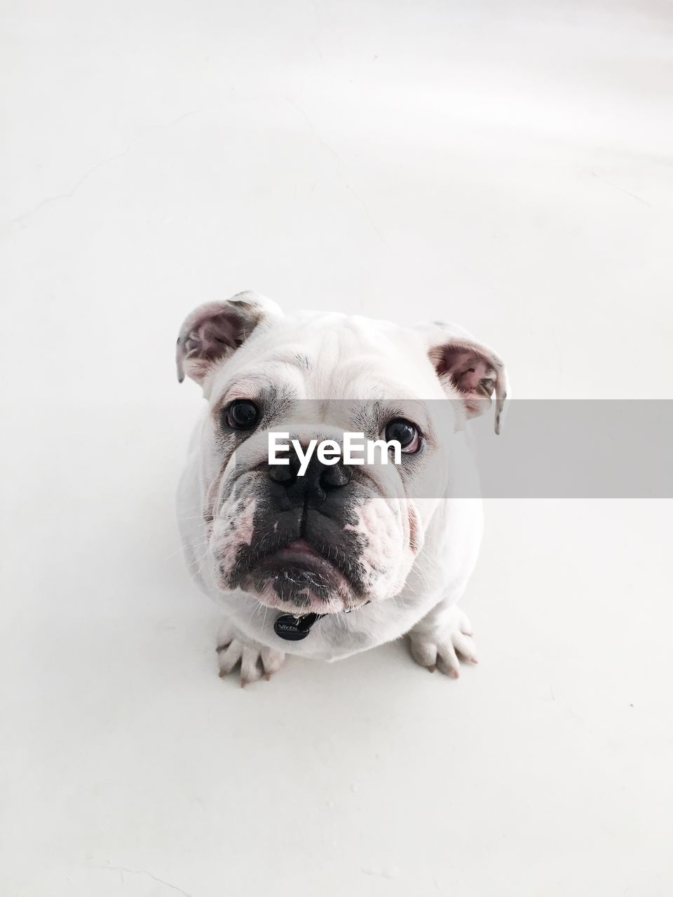 HIGH ANGLE VIEW OF WHITE DOG