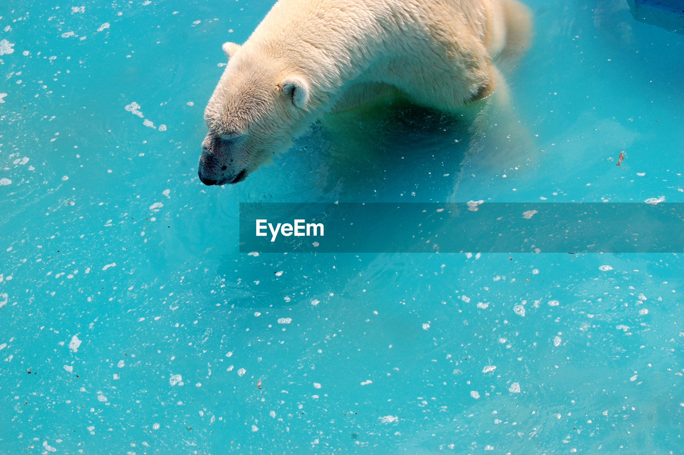 Close-up of polar bear in water