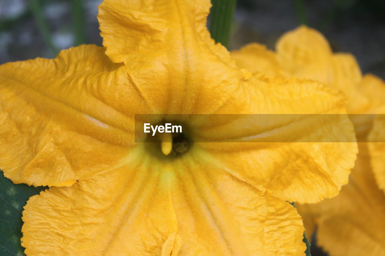 flower, petal, flower head, fragility, freshness, close-up, nature, plant, beauty in nature, focus on foreground, growth, day, outdoors, blooming, no people, springtime, yellow, hibiscus, day lily, water, petunia