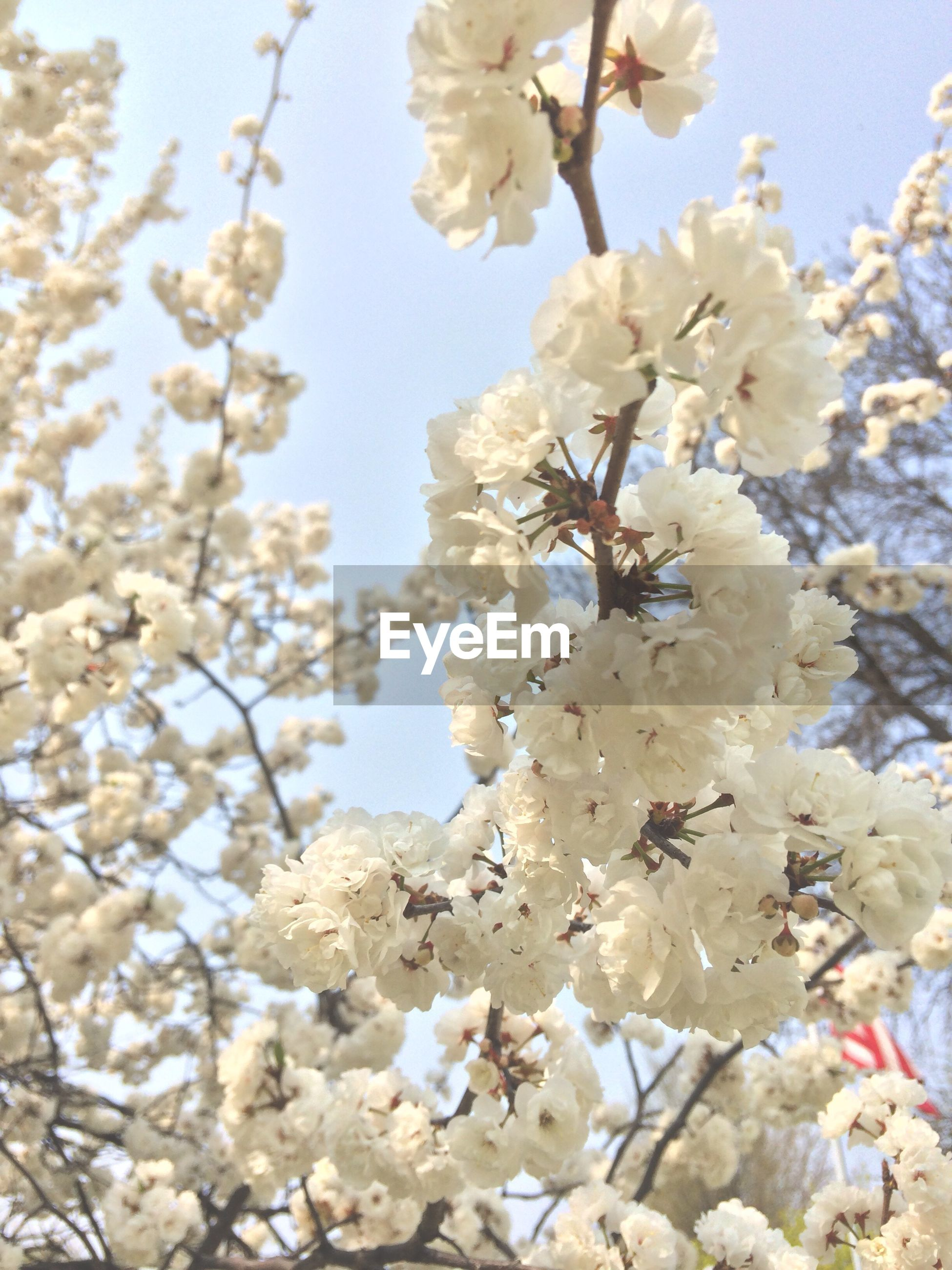 flower, freshness, growth, fragility, branch, tree, beauty in nature, clear sky, blossom, low angle view, cherry blossom, nature, petal, cherry tree, blooming, white color, in bloom, springtime, day, blue
