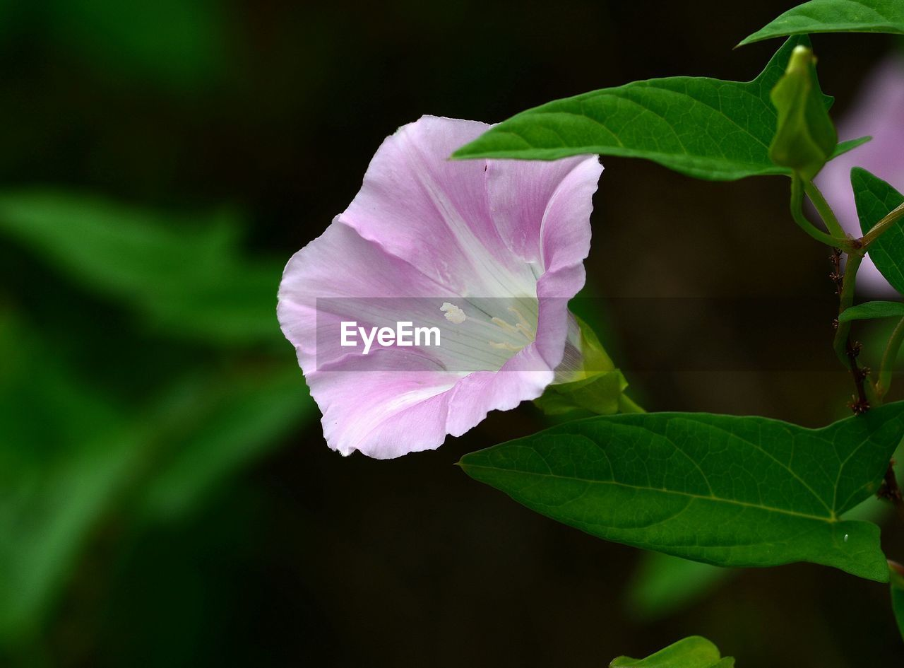 leaf, petal, growth, plant, beauty in nature, no people, fragility, nature, flower, close-up, flower head, outdoors, green color, blooming, day, freshness, periwinkle