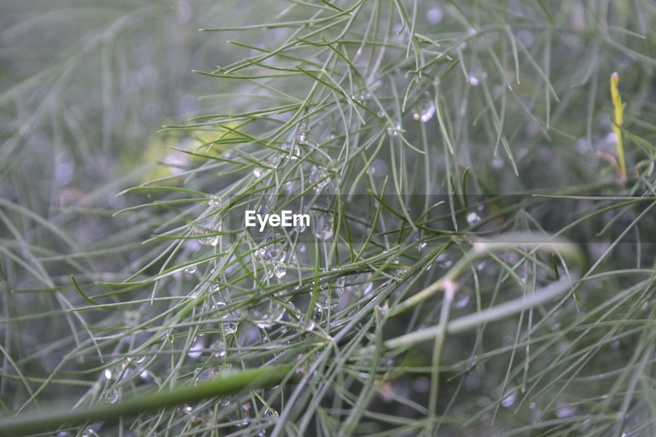 plant, growth, selective focus, close-up, nature, beauty in nature, green color, no people, day, full frame, tranquility, grass, backgrounds, outdoors, freshness, fragility, needle - plant part, vulnerability, land, blade of grass, coniferous tree