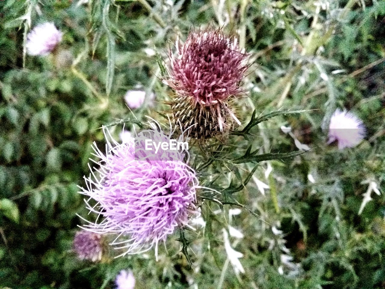 flower, thistle, purple, flower head, nature, fragility, growth, plant, focus on foreground, no people, day, freshness, beauty in nature, outdoors, blooming, close-up, eastern purple coneflower