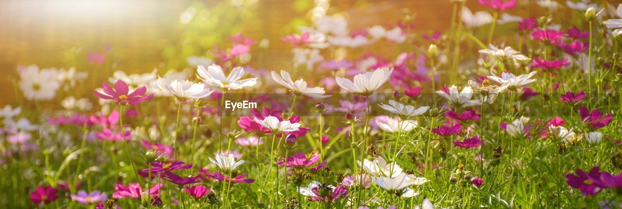 flower, flowering plant, plant, freshness, beauty in nature, pink color, growth, nature, fragility, close-up, vulnerability, land, selective focus, field, no people, petal, day, sunlight, outdoors, grass, flower head, springtime, flowerbed