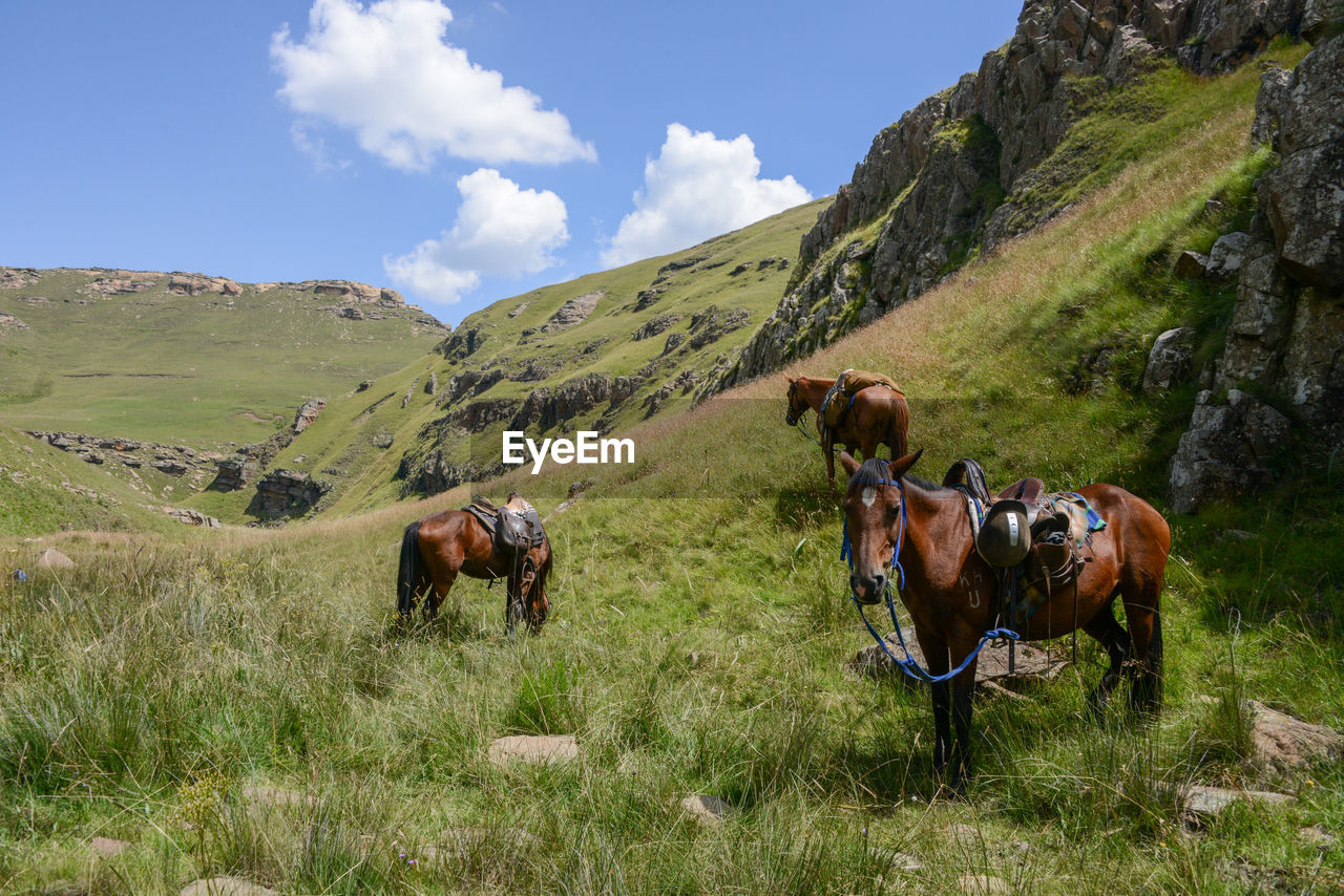 COWS ON FIELD AGAINST MOUNTAIN
