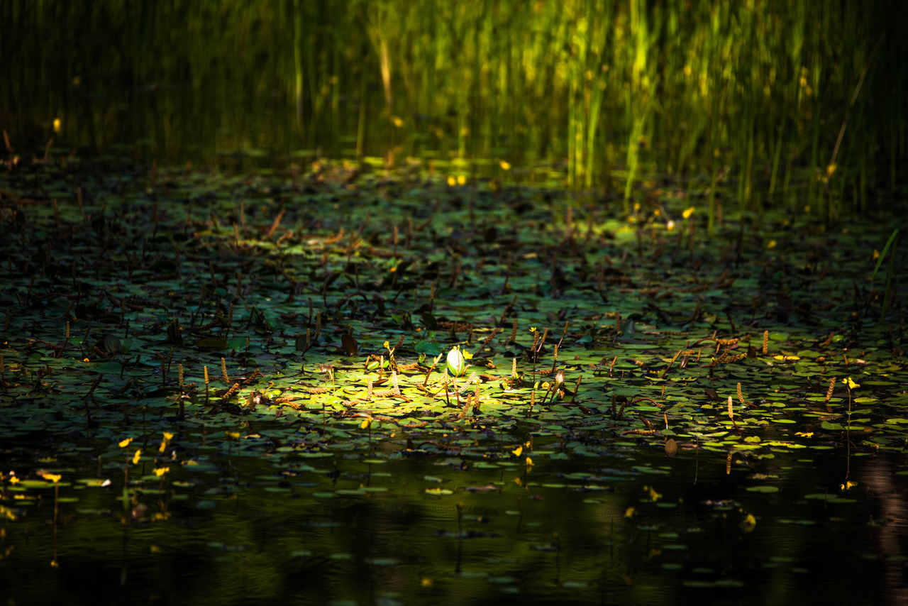 lake, water, leaf, water lily, plant part, plant, floating, floating on water, nature, tranquility, beauty in nature, no people, flower, selective focus, waterfront, reflection, day, green color, outdoors, leaves, lotus water lily, swamp