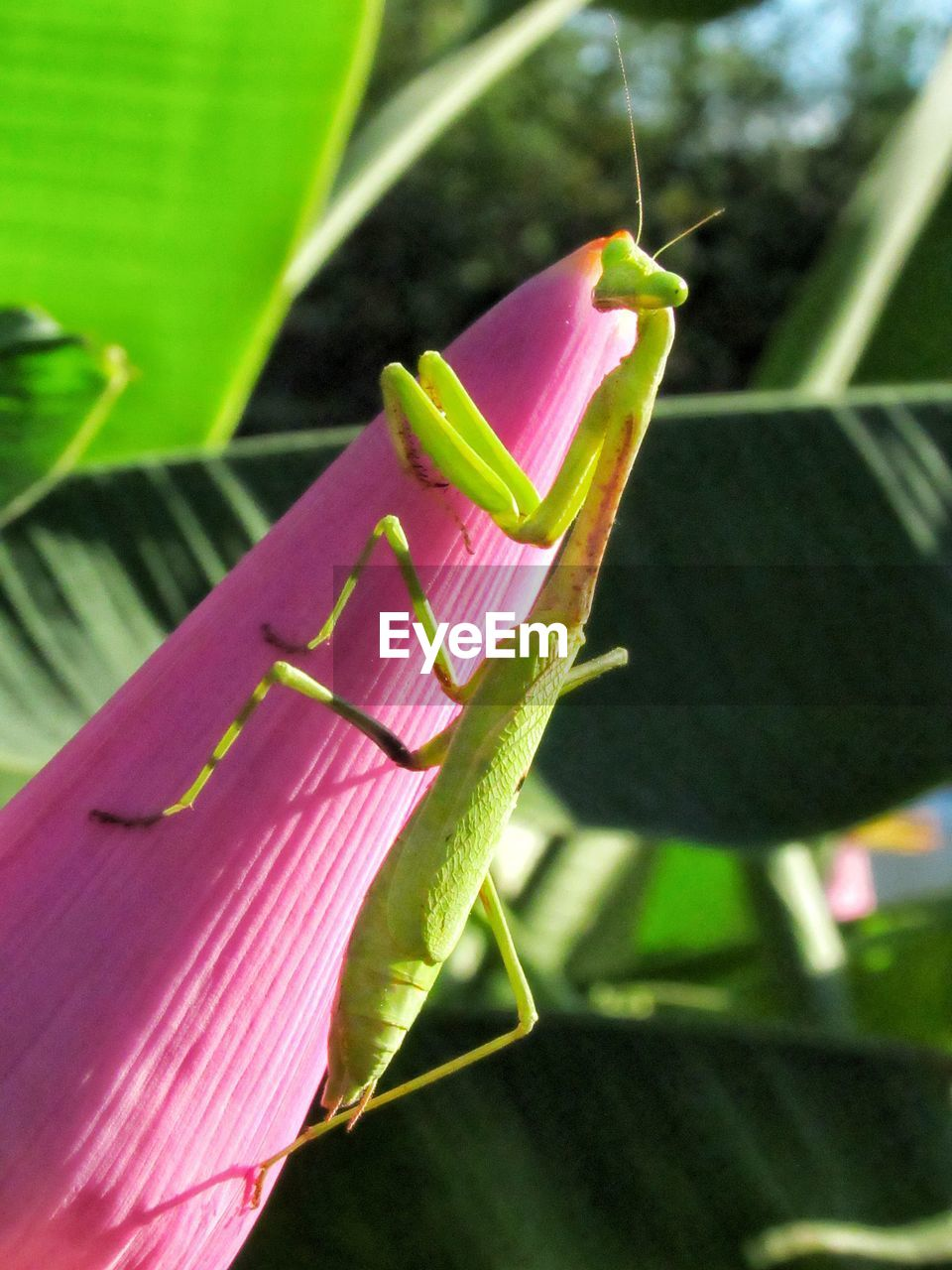plant, plant part, leaf, pink color, close-up, focus on foreground, insect, invertebrate, no people, green color, nature, animal themes, freshness, growth, animals in the wild, day, animal, animal wildlife, one animal, beauty in nature, outdoors, flower
