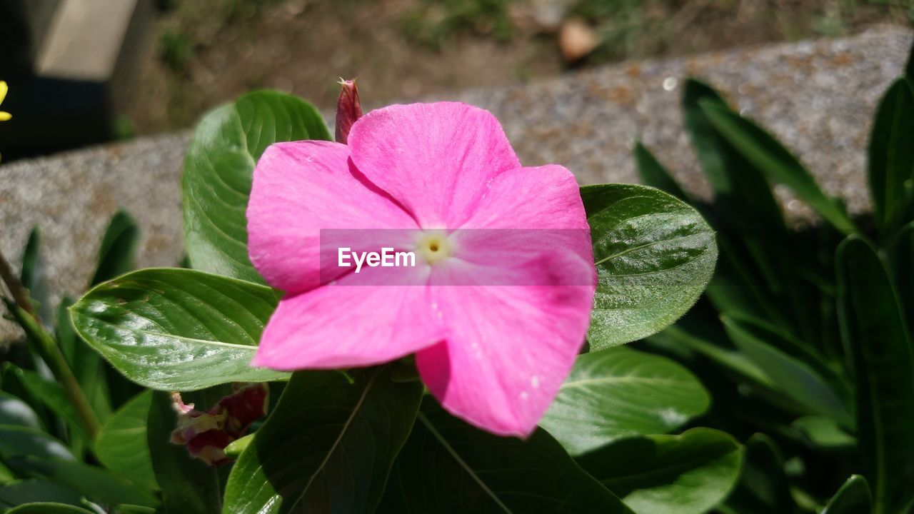 petal, flower, pink color, growth, flower head, fragility, blooming, beauty in nature, focus on foreground, plant, leaf, periwinkle, close-up, high angle view, nature, day, freshness, outdoors, no people, petunia