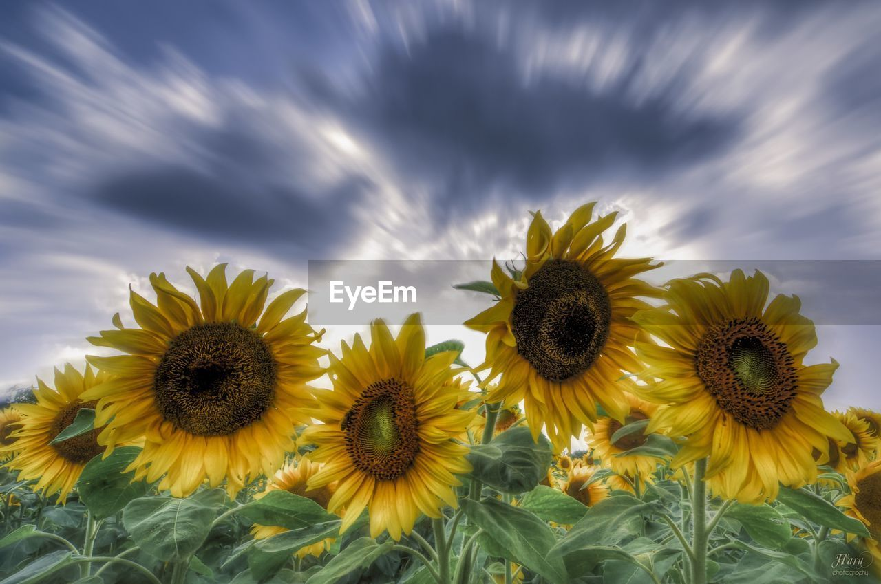 flower, flowering plant, yellow, plant, freshness, flower head, growth, beauty in nature, cloud - sky, inflorescence, sunflower, fragility, petal, nature, vulnerability, close-up, sky, no people, field, land, outdoors, pollen