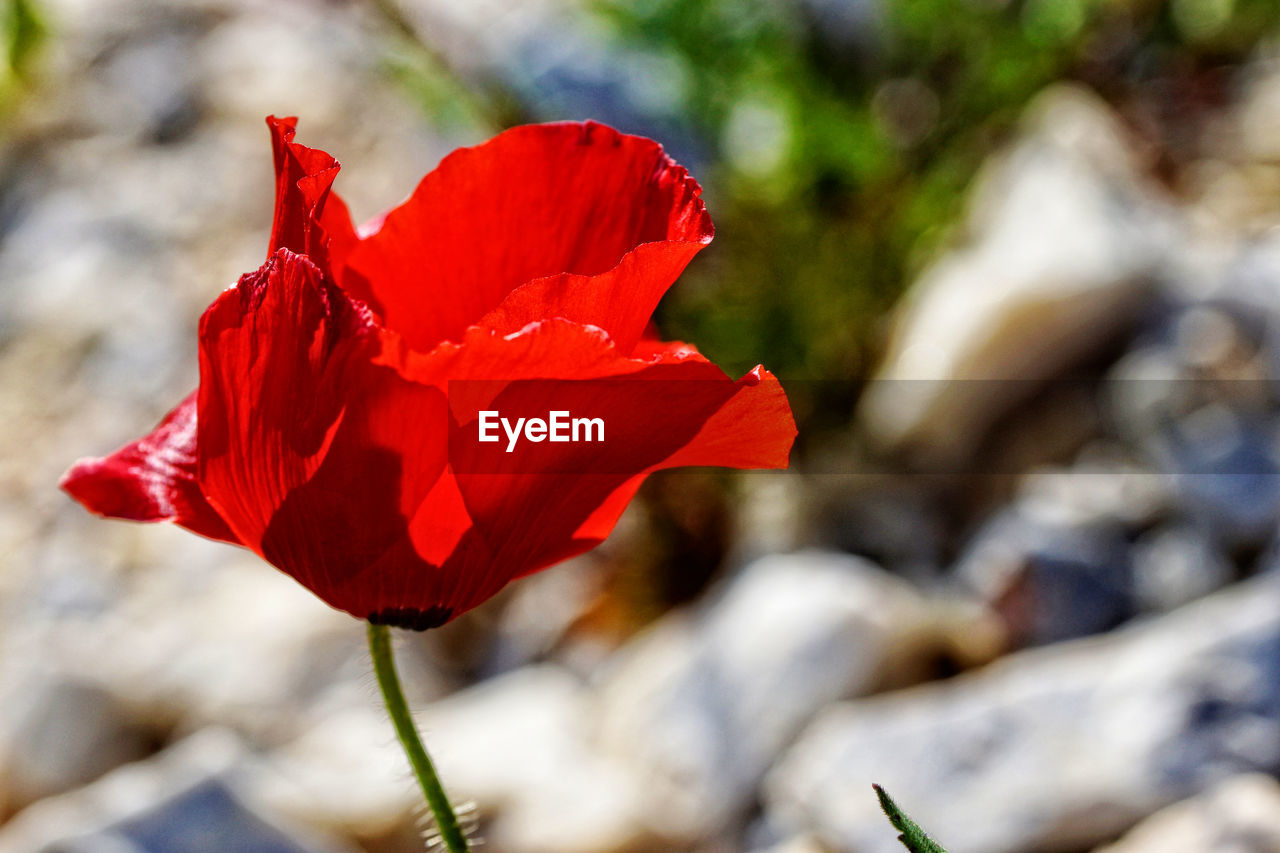 flower, red, fragility, petal, beauty in nature, nature, growth, flower head, freshness, plant, blooming, focus on foreground, no people, day, outdoors, poppy, close-up, hibiscus