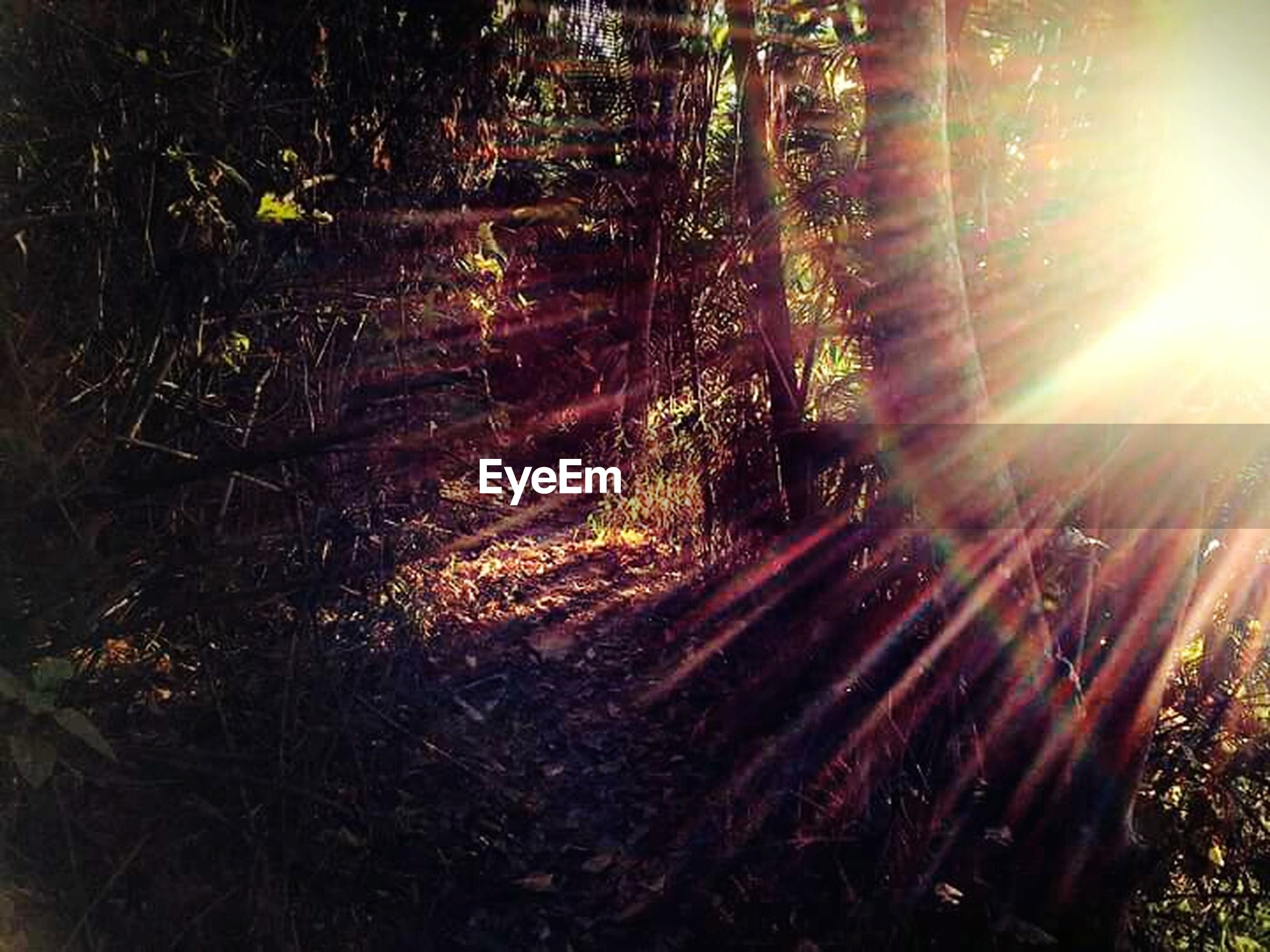 sunbeam, sun, lens flare, sunlight, tree, forest, tranquility, nature, growth, woodland, beauty in nature, tranquil scene, tree trunk, glowing, back lit, outdoors, scenics, no people, plant, sunset