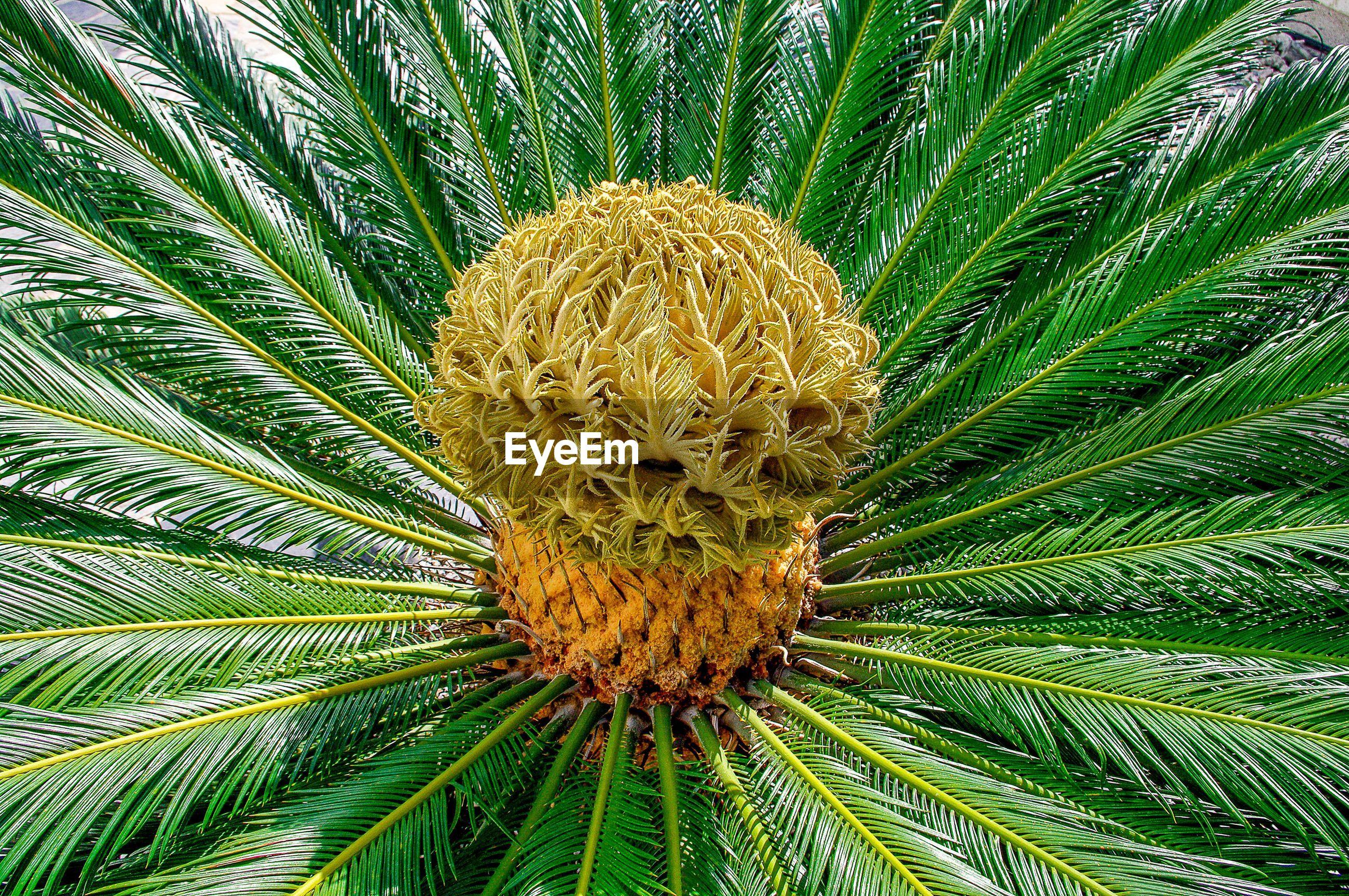 PALM LEAVES ON PALM TREE