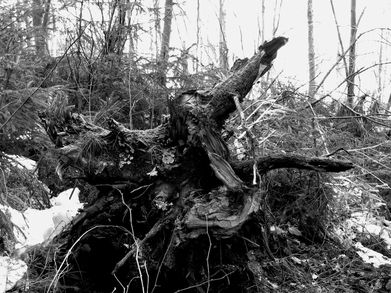 Dead tree in forest