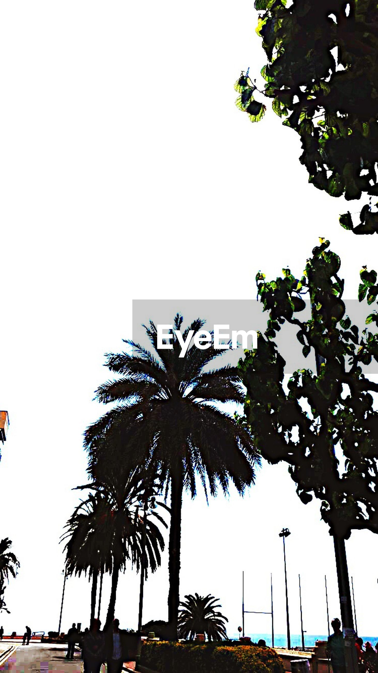 tree, clear sky, palm tree, transportation, car, land vehicle, mode of transport, low angle view, growth, copy space, road, street light, street, nature, branch, outdoors, day, tree trunk, sky, incidental people