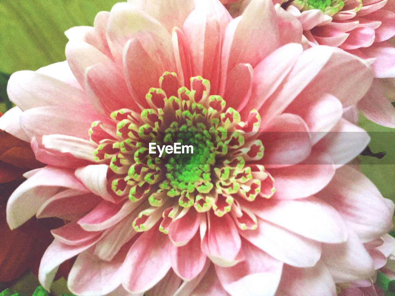 flower, petal, flower head, beauty in nature, nature, fragility, growth, pink color, pollen, freshness, blooming, plant, day, no people, close-up, outdoors, zinnia