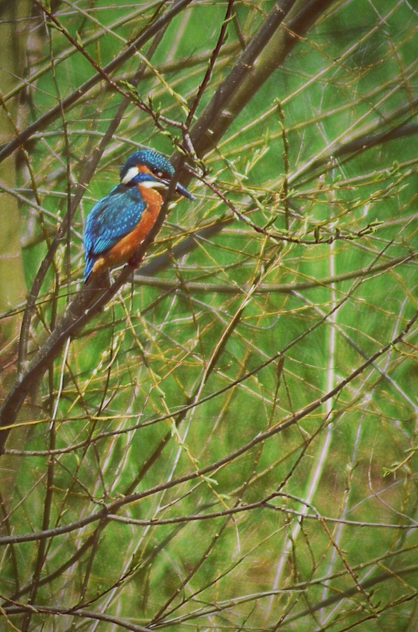 bird, animals in the wild, one animal, perching, animal themes, branch, animal wildlife, nature, kingfisher, beauty in nature, no people, day, tree, outdoors, close-up