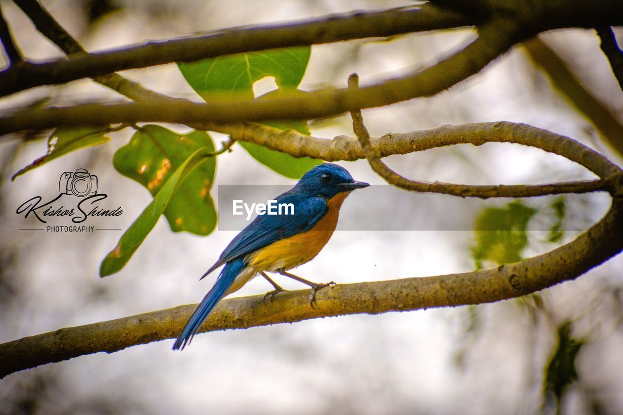 bird, animal themes, perching, branch, one animal, animals in the wild, tree, animal wildlife, focus on foreground, nature, no people, day, outdoors, beauty in nature, close-up