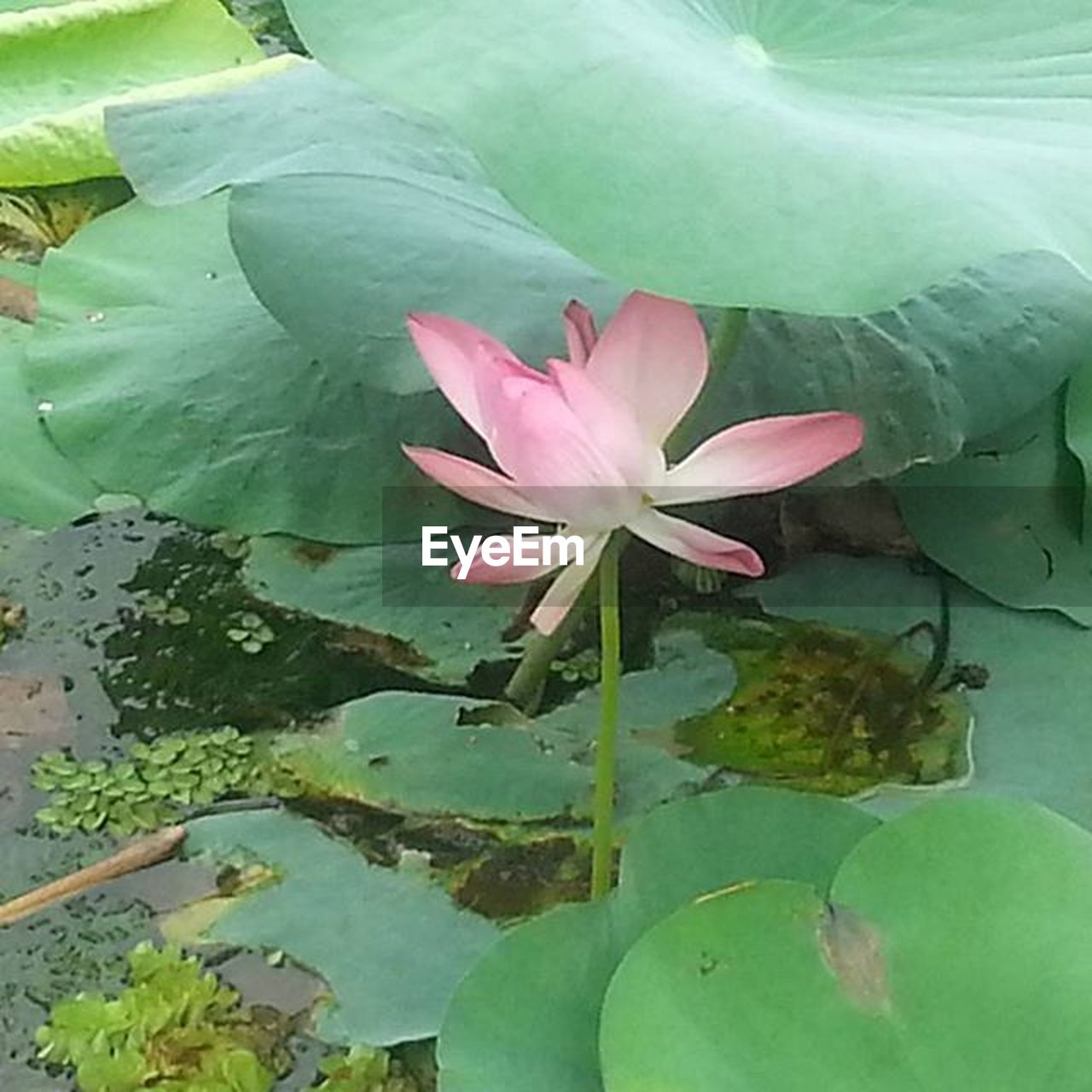 leaf, growth, nature, beauty in nature, green color, no people, plant, flower, petal, lotus water lily, close-up, water lily, day, outdoors, pink color, lotus, freshness, fragility, flower head, water, lily pad