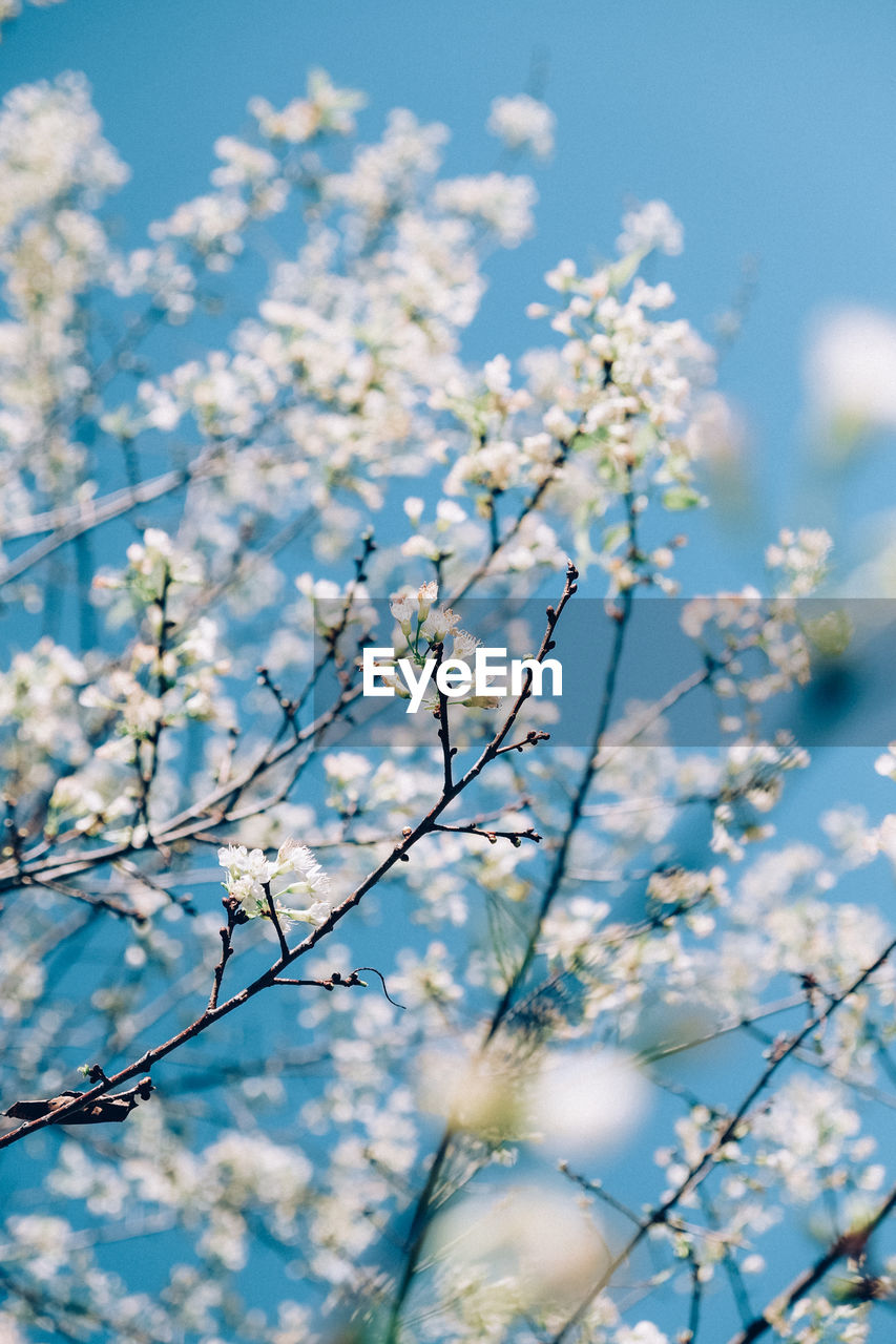 beauty in nature, flowering plant, fragility, flower, plant, growth, blossom, vulnerability, freshness, sky, nature, selective focus, springtime, low angle view, no people, day, tree, branch, sunlight, blue, outdoors, cherry blossom, spring, bright, cherry tree